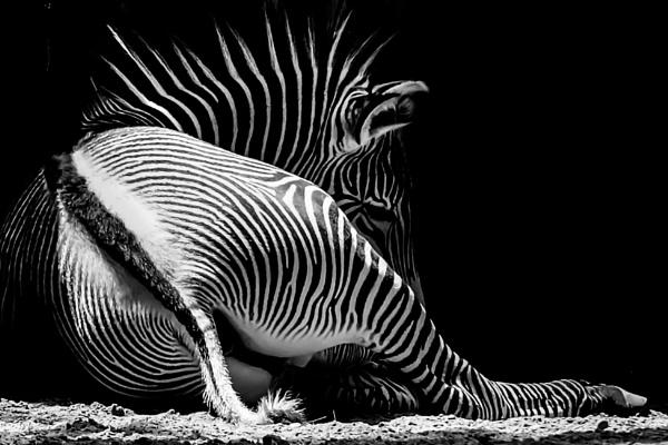 Zebra, Chicago by BiffoClick