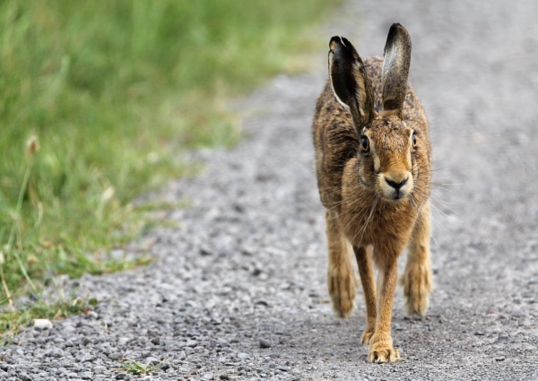 Running Hare by timmiller