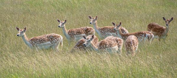 Fallow deer by philstan