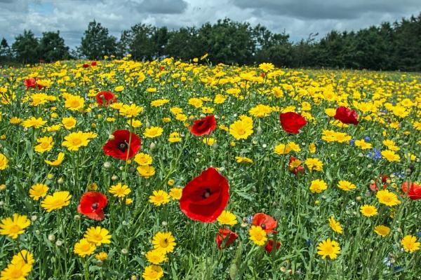 Wildflower meadow by Janetdinah