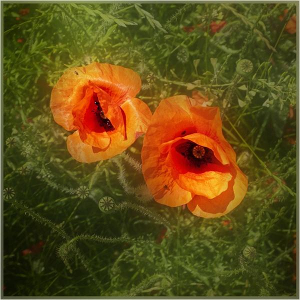 Roadside Poppies by AlfieK