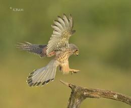 Wild Kestrel Landing