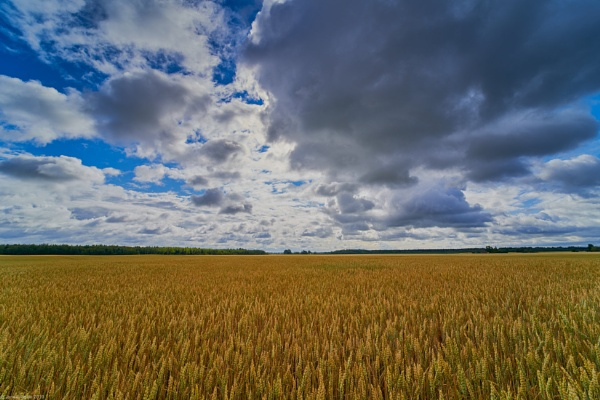 Wheat field by LotaLota
