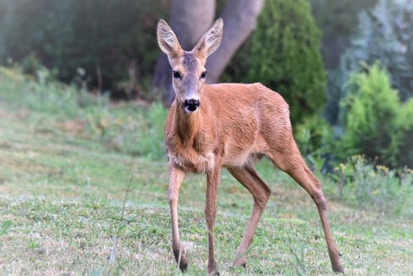Deer by Johnny123