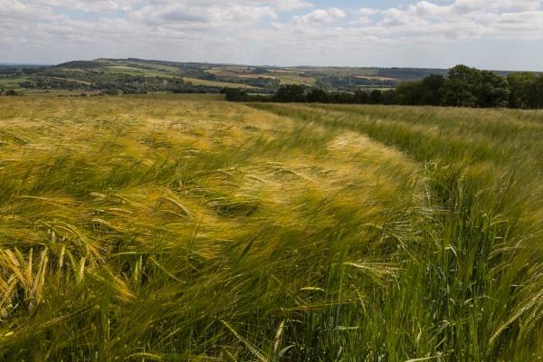 Fields of Barley by Eleanor431