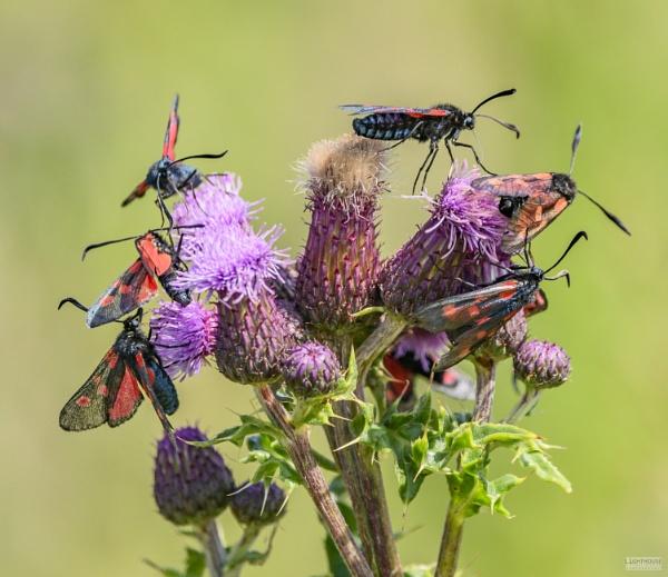 Burnet moths galore by LighthousePhotography