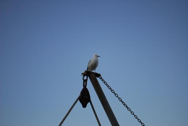 Resting Gull by heyitshenry