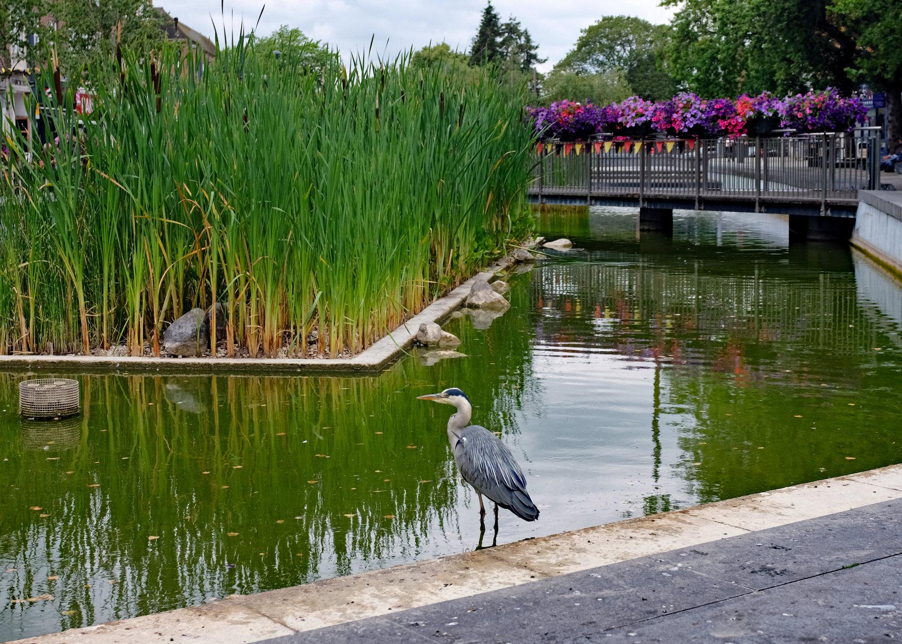 Heron - Town Centre Pond