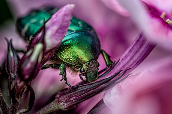 Rose Chafer by Pricey