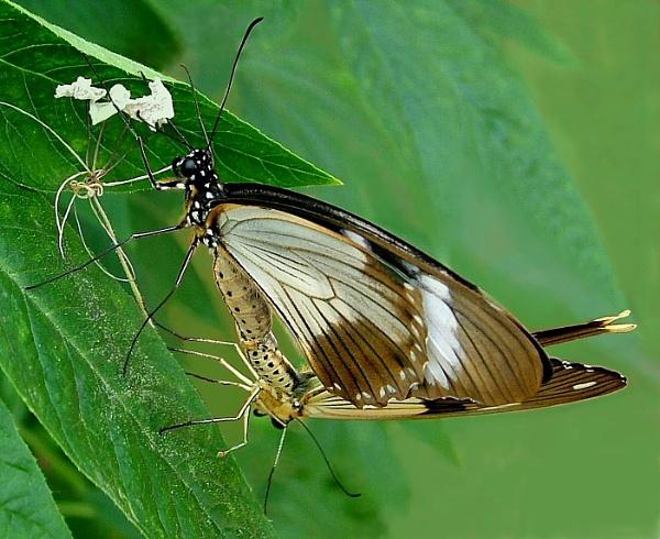 Mocker Swallowtail by pamelajean
