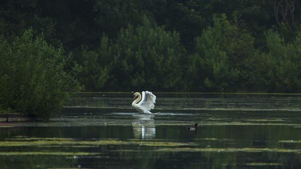 Dawn Swan by chensuriashi