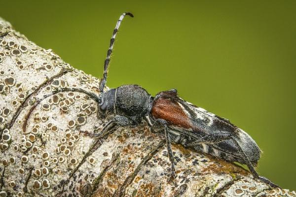 Rufous-shouldered Longhorn Beetle by barrywebb