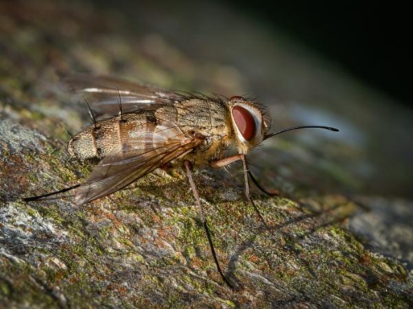 Tachnid Fly (Prosina siberita) by barrywebb