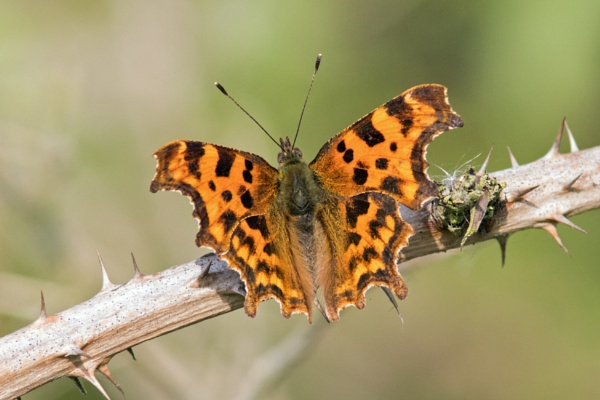 Comma by oldgreyheron