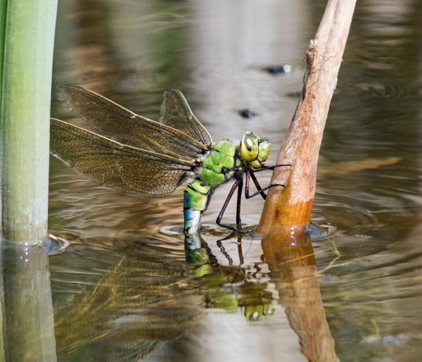 Female emperor dragonfly ovipositing by oldgreyheron