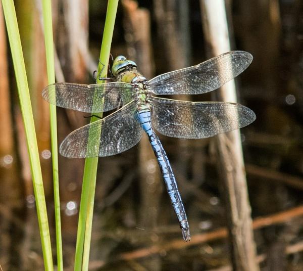 Male emperor dragonfly by oldgreyheron