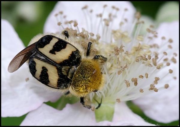 Bee Beetle - Trichius fasciatus ... by Badgerfred