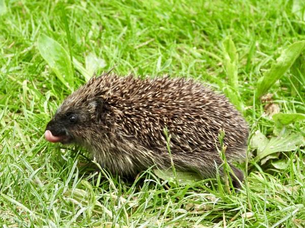 Baby hedgehog by roge21