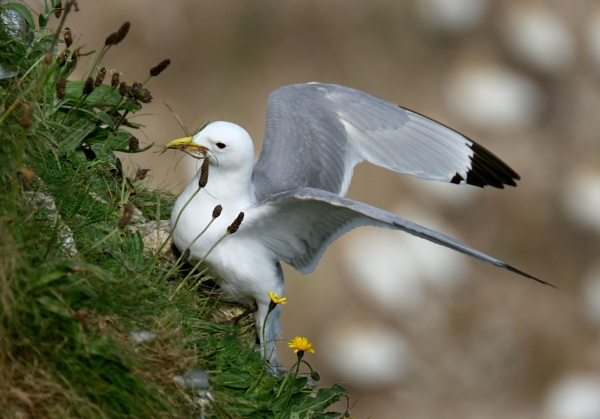 Kittiwake gathering nesting material. by paulbroad