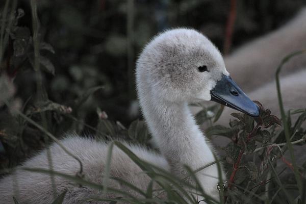 Sygnet, One swan. by mex