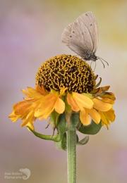 Ringlet butterfly on Hellenium