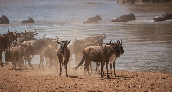 Wilderbeest Crossing by rontear