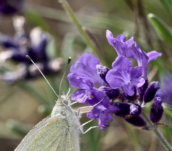 Nectar by sparrowhawk