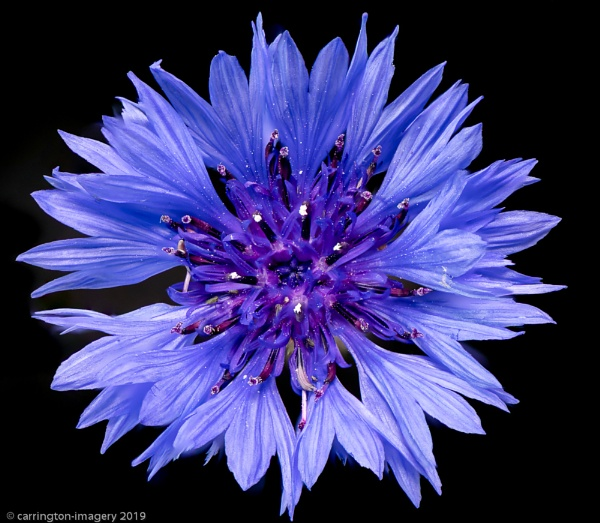 Cornflower by CImagery