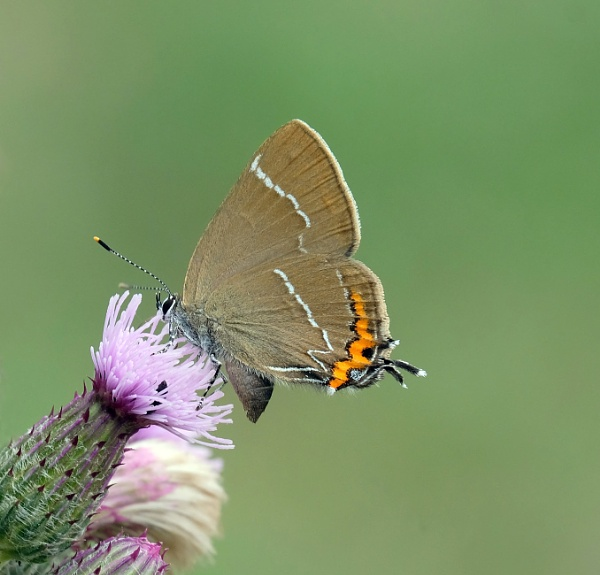 White letter hairstreak by 64Peteschoice