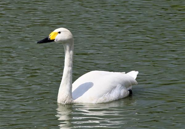 Whooper Swan by mike9005