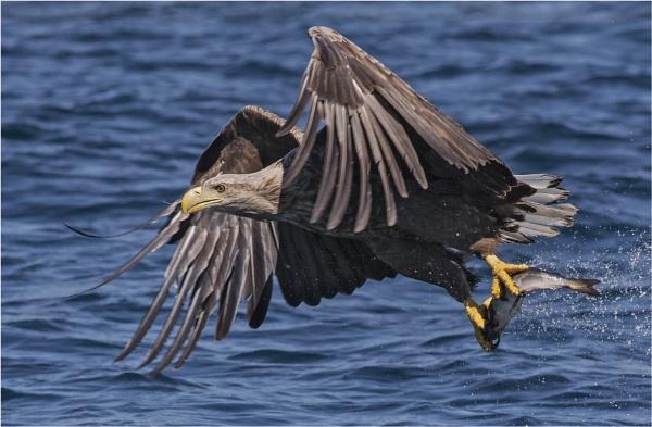 Sea Eagle with prey by mjparmy