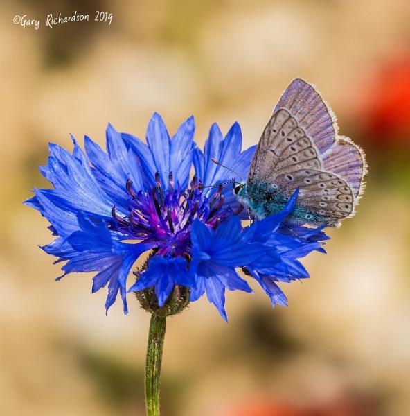 common blue on cornflower by djgaryrichardson