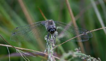 Male Black Darter (Sympetrum danae)