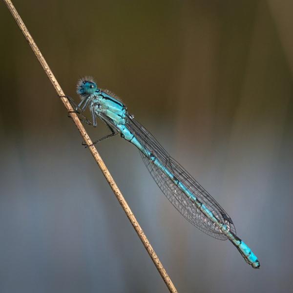 Common Blue Damselfly by jasonrwl