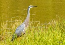White Faced Heron (6834) by paulknight