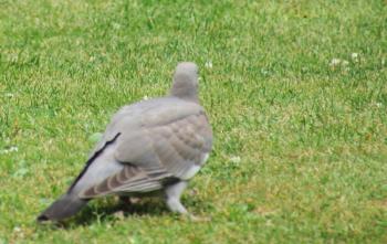 Juvenile Wood Pigeon