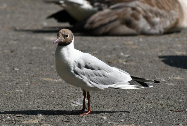 Black Headed Gull by ShaunsPics