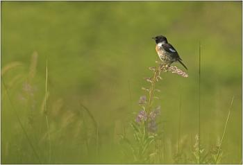 Stonechat perched on Rosebay Willowherb