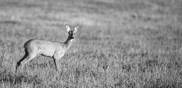 deer by echoschall