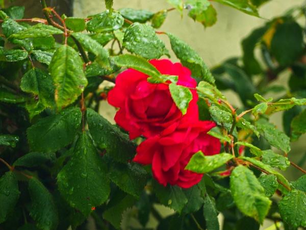 GARDEN FLOWER. by kojack
