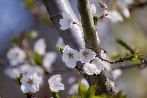 Blossom Flower by manicam