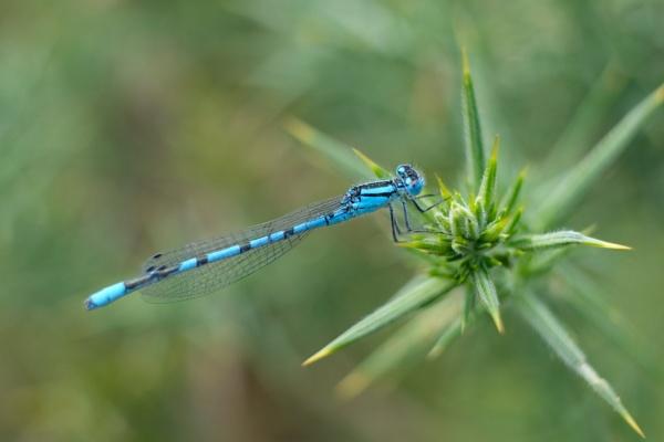 Blue damselfly by RSFphoto