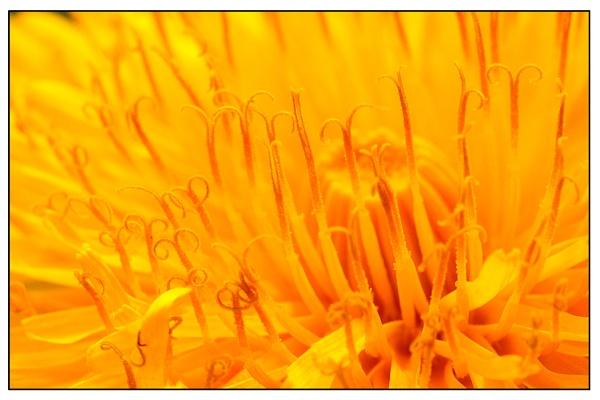 Dandelion by gcarth
