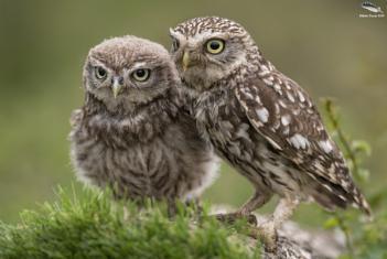 Little Owl & Owlet