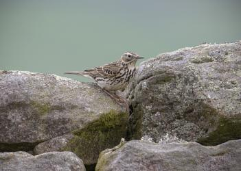 Wall Pipit