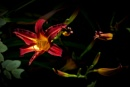 Day Lily. by Mollycat