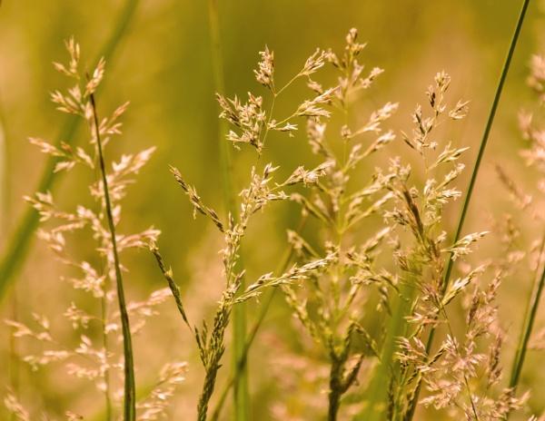 Summer grass by Madoldie