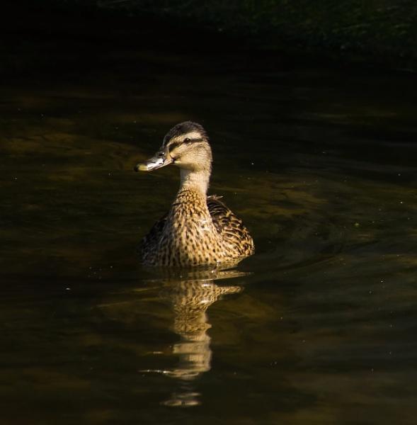 Mallard on water by Madoldie
