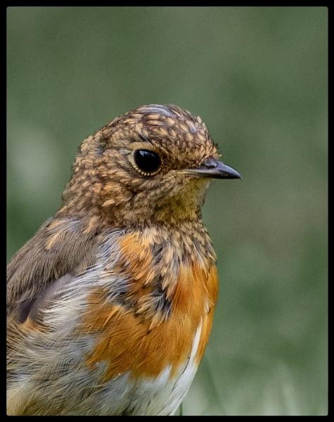 Robin Portrait by TornadoTys