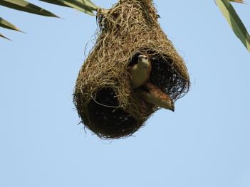 Munia birds